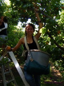 fruit picking abricots