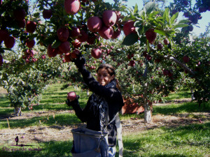 fruit picking pommes