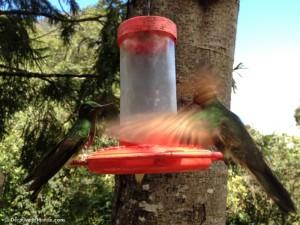 acaime cocora colibri