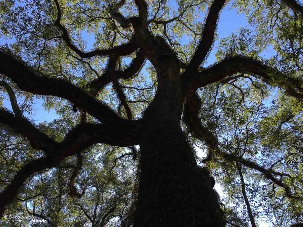 Oak Louisiane