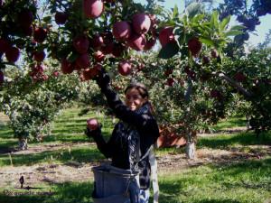 fruit picking pommes
