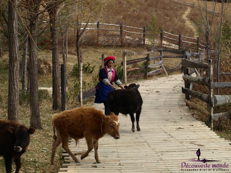 shangri-la yaks