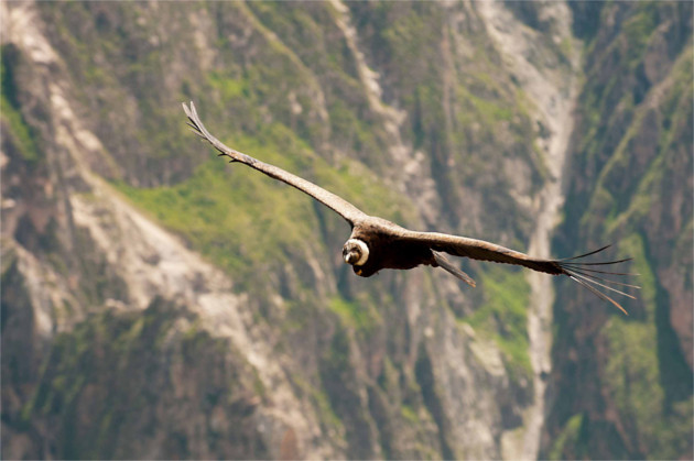 condor photo animalière