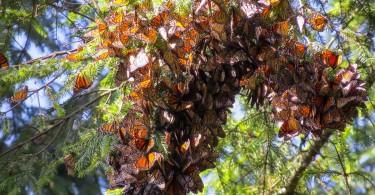 sanctuaire papillons monarques