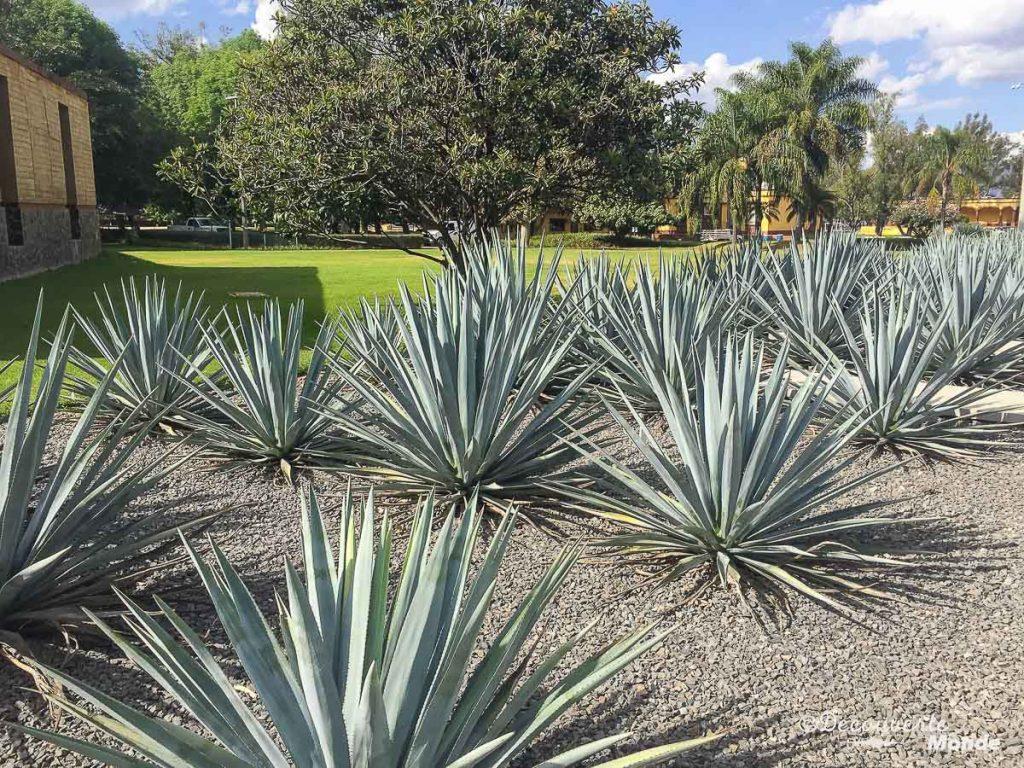 agave bleue tequila mexique