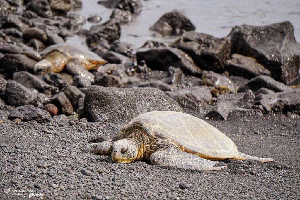 Big Island : Mon voyage de 10 jours sur la plus grande des îles d'Hawaii. Ici des tortues géantes vertes à Hawaii. Retrouvez l'article ici: https://www.decouvertemonde.com/big-island-voyage-iles-hawaii