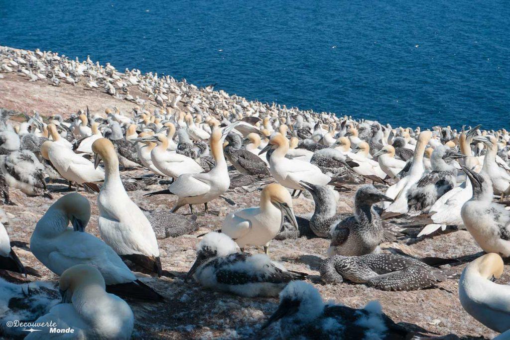 Fous de bassan de l'île Bonaventure dans mon article Gaspésie en 10 jours : Itinéraire de mon tour de la Gaspésie en road trip #gaspesie #quebec #canada #voyage #quebecoriginal #explorecanada #sepaq #bonaventure #fousdebassan