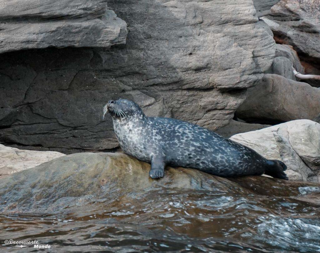 Phoque commun vu en safari-zodiac dans mon article Gaspésie en 10 jours : Itinéraire de mon tour de la Gaspésie en road trip #gaspesie #quebec #canada #voyage #quebecoriginal #explorecanada #nature #phoque