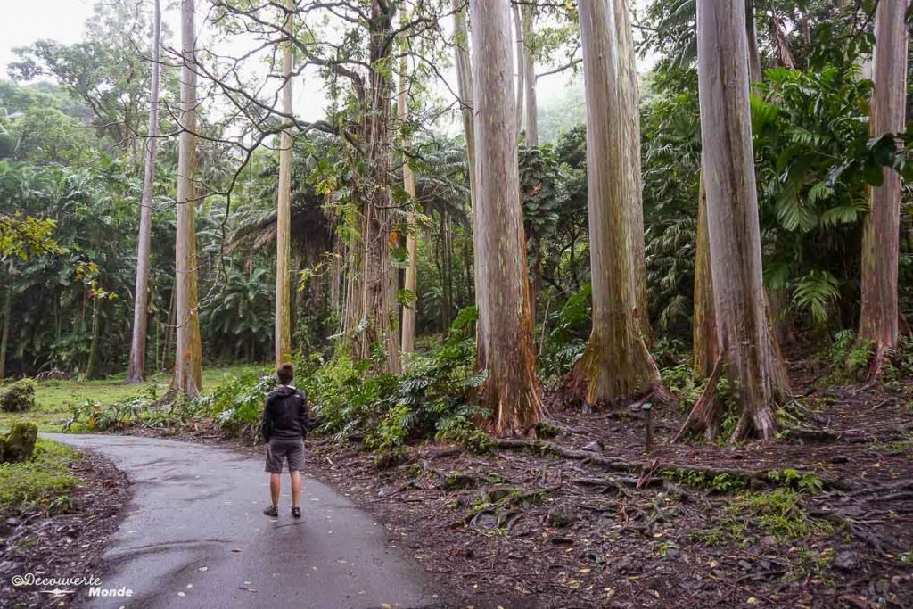 Forêt d'eucalyptus à l'arboretum à Maui à Hawaii dans mon article Maui à Hawaii : Que faire en 10 jours de road trip sur l'île de Maui #maui #hawaii #hawai #etatsunis #usa #voyage