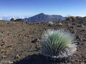 Silversword, plante endémique de Hawaii dans mon article Maui à Hawaii : Que faire en 10 jours de road trip sur l'île de Maui #maui #hawaii #hawai #etatsunis #usa #voyage