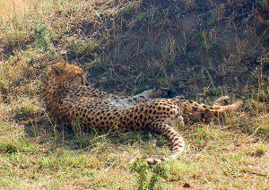 Un guépard vu lors d'un safari au Kenya en indépendant dans mon article Safari au Kenya pas cher : Comment le faire en indépendant dans 5 réserves #kenya #safari #afrique #voyage #animaux