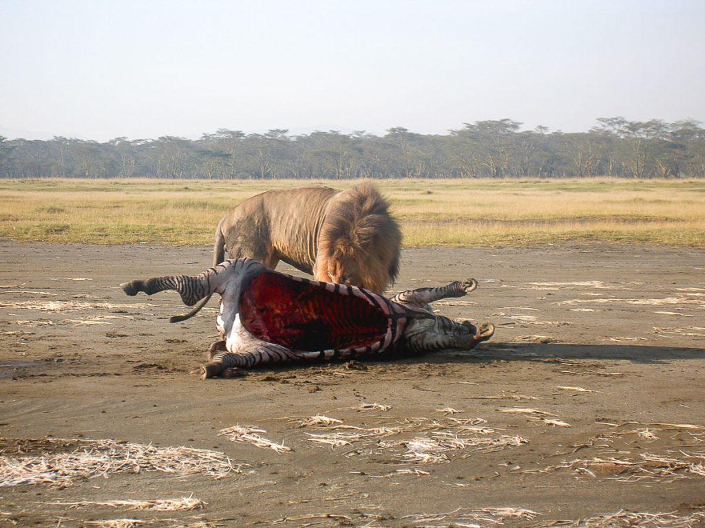 Safari dans la réserve Nakuru dans mon article Safari au Kenya pas cher : Comment le faire en indépendant dans 5 réserves #kenya #safari #afrique #voyage #animaux