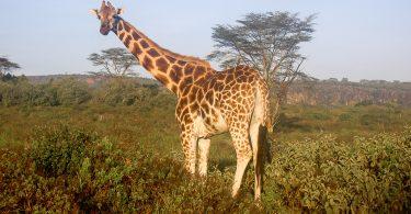 Une girafe lors d'un safari au Kenya dans mon article Safari au Kenya pas cher : Comment le faire en indépendant dans 5 réserves #kenya #safari #afrique #voyage #animaux