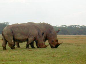 Des rhinocéros vus lors d'un safari au Kenya en indépendant dans mon article Safari au Kenya pas cher : Comment le faire en indépendant dans 5 réserves #kenya #safari #afrique #voyage #animaux