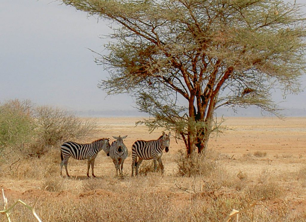 Des zèbres vus lors d'un safari au Kenya en indépendant dans mon article Safari au Kenya pas cher : Comment le faire en indépendant dans 5 réserves #kenya #safari #afrique #voyage #animaux