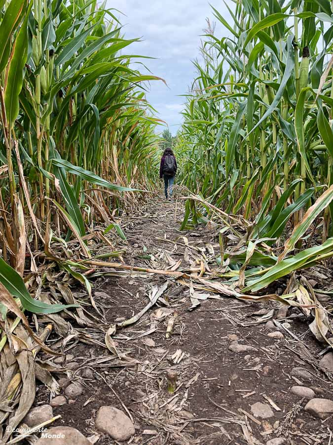 Le labyrinthe de maïs dans les Laurentides chez Labonté de la pomme dans mon article Sur la Route gourmande des Laurentides avec la Navette Nature #laurentides #quebec #navettenature #routegourmande #agrotourisme #verger #vignoble